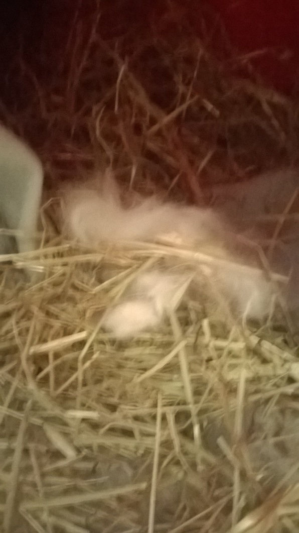If your rabbit nests, please leave it alone until you are satisfied that this 'phase' has passed. Otherwise they will continue to pluck their fur and rebuild, which can be emotionally distressing to them.